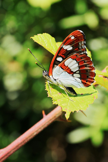 2019RFNHM_PDI_053 - croatian butterfly by Sean Evans.