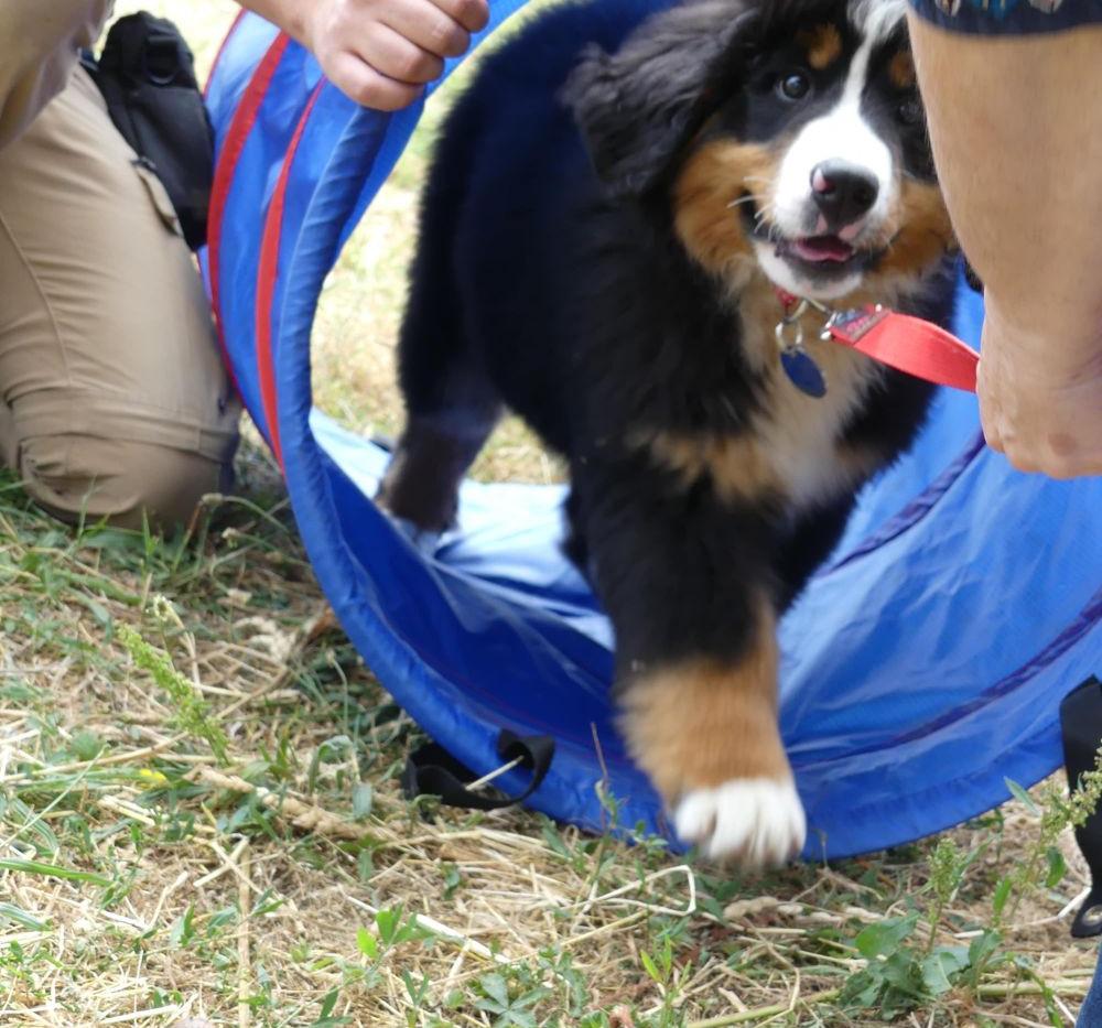éducation du chiot dressage canin Loire