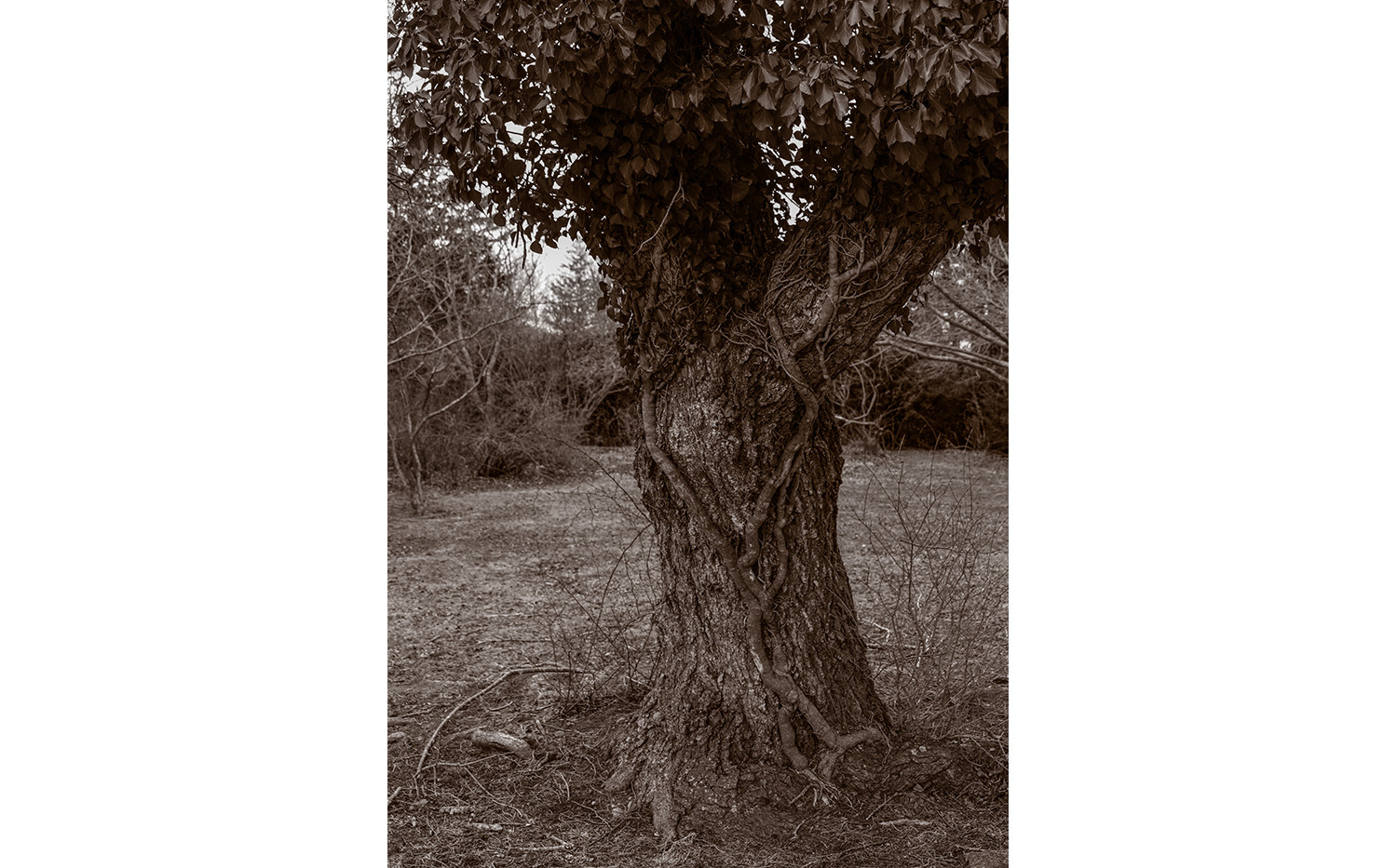 Old tree with vines