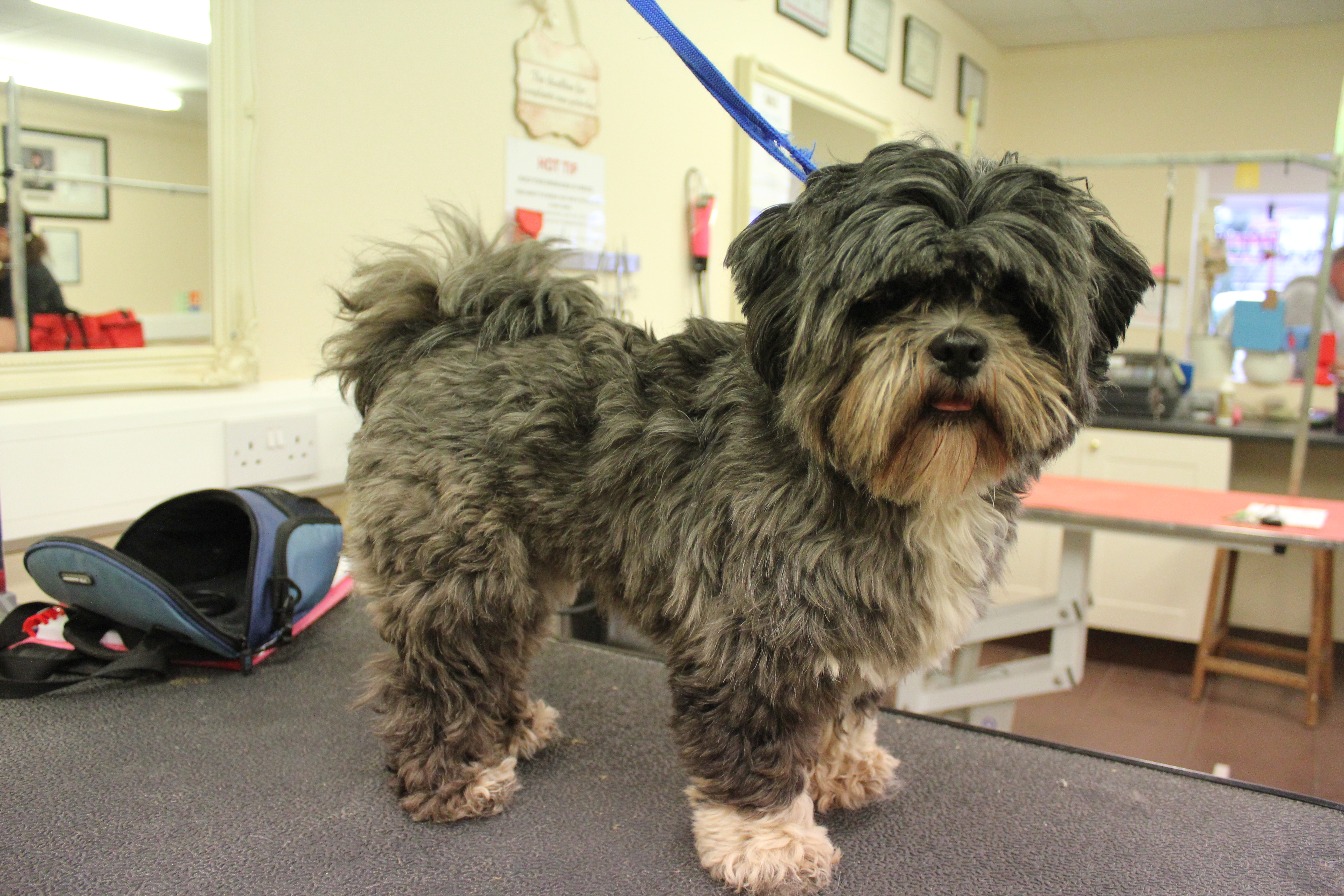 Before - Lhasa Apso