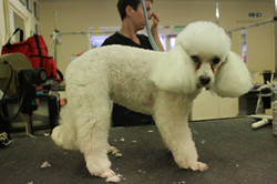 After - Toy Poodle