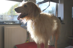 Before - Labradoodle