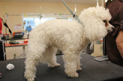 Before - Toy Poodle