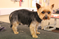 After - Yorkshire Terrier