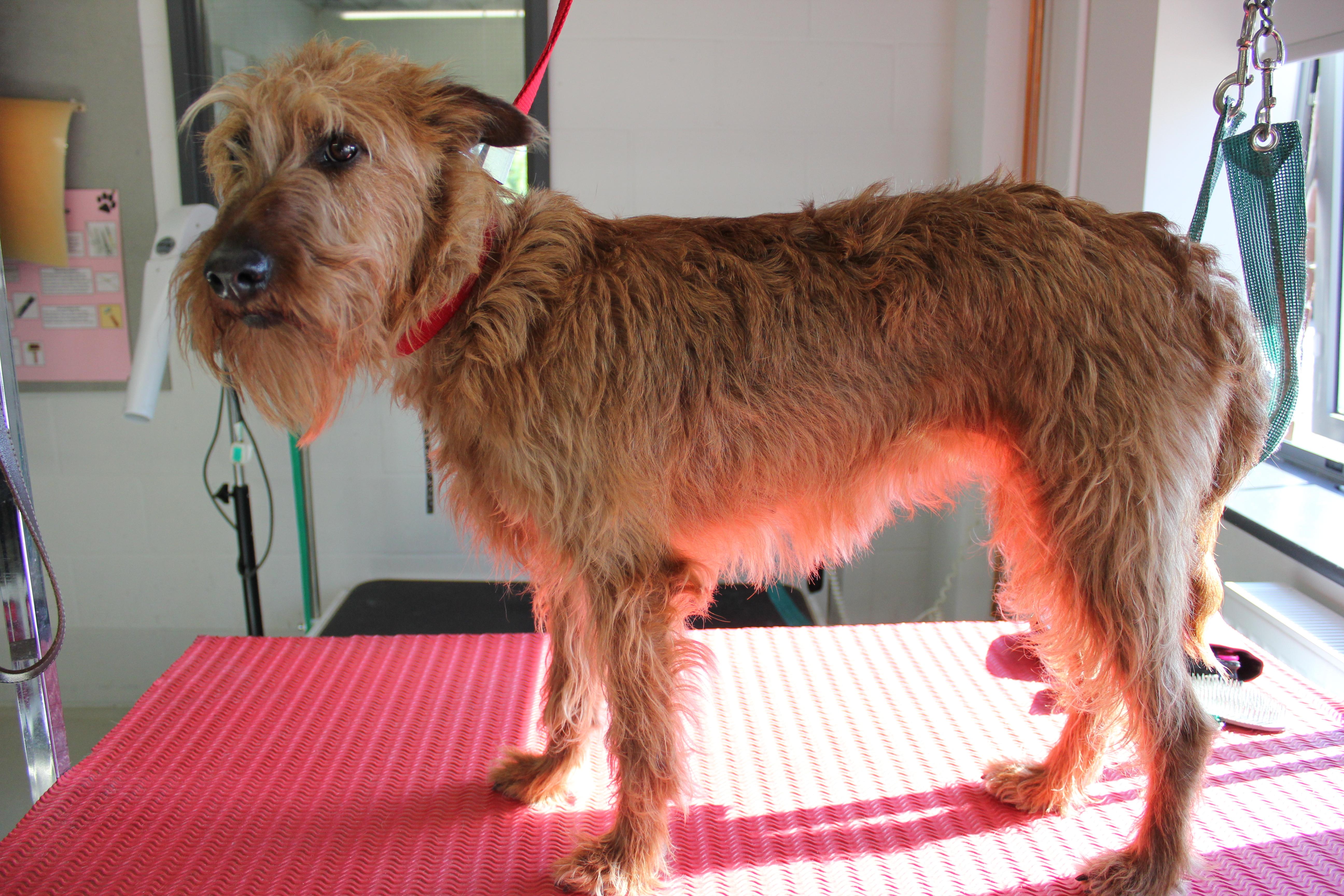 Before - Irish Terrier