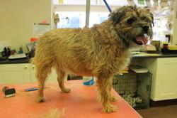 Before - Border Terrier