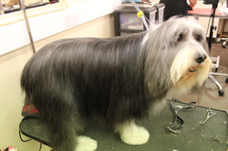 After - Bearded Collie