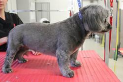 After - Lhasa Apso x Poodle