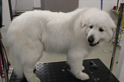 After - Pyrenean Mountain Dog