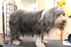 Before - Bearded Collie