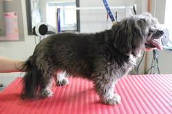 Before - Lhasa Apso x Poodle