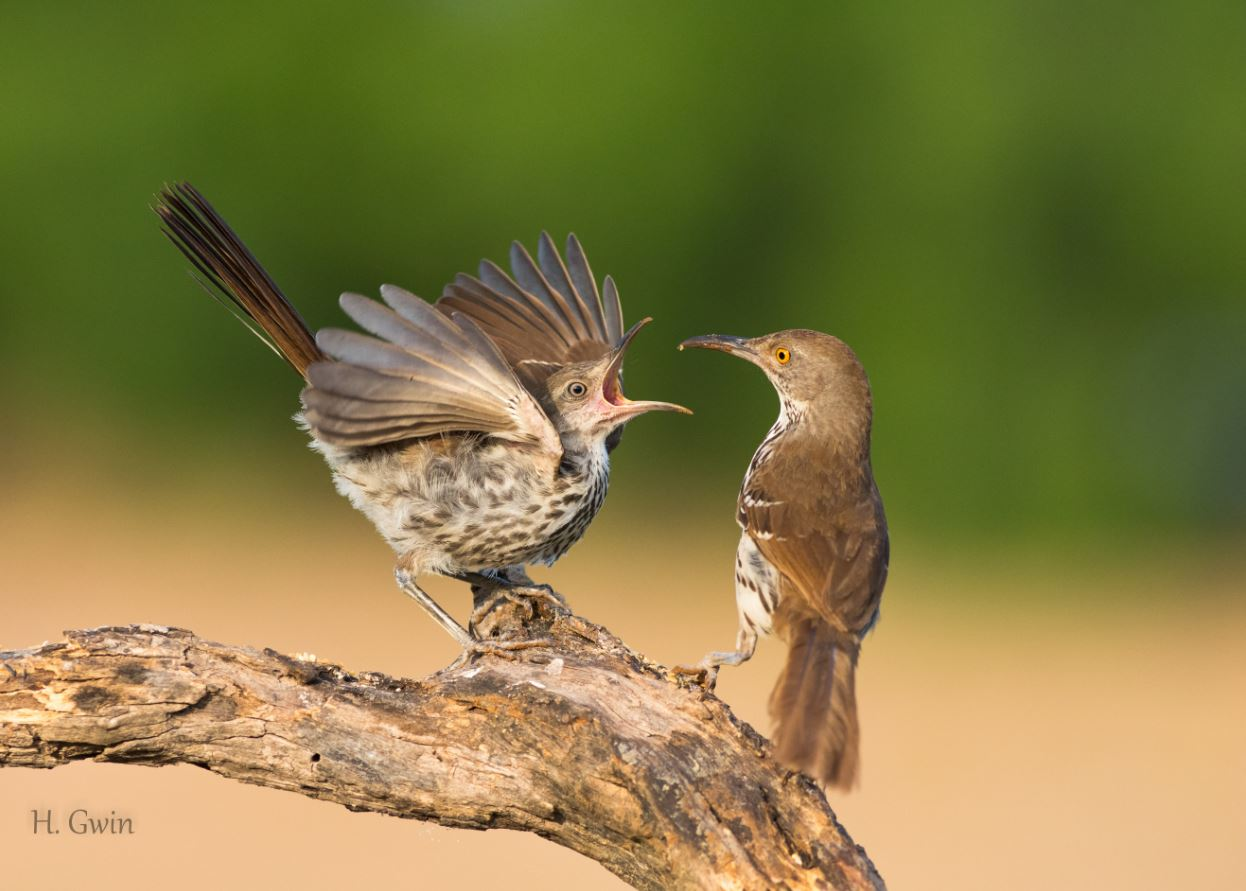 Long-billed Thrashers