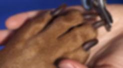 Negleklip hund. Hellerup Dog Walk klipper din hunds negle, mens den er i hundehave hundebørnehave med professionel hundelufter i Købehavn og Nordsælland og Frderiksberg