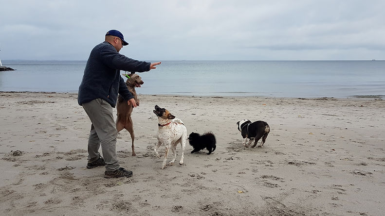 Magnus (Hellerup Dog Walk) playing with dogs. Magnus (Hellerup Dog Walk) leger med hunde.