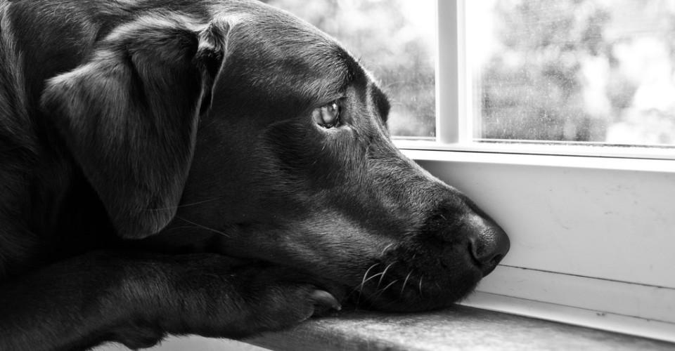 Hvor lang tid kan en hund være alene hjemme? Hund alene hjemme i 9 timer. Hund savner sin ejer. Hund ked af det. Hund trist