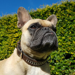 Hero (fransk bulldog)
