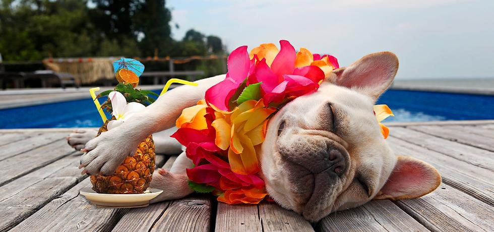 Sleeping dog. Sovene hund. Privat hundepasning og professinel hundeluftning med egen hundehave hundebørnehave i Købehavn Nordsjælland Storkøbenhavn og Frederiksberg