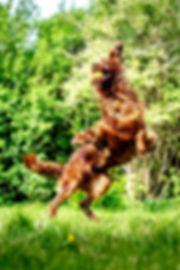 Dog catching a ball. Hund der griber bold. Irsk sætter. Hundefoto. Hundefotograf. Hellerup Dog Walk. Pack Walk. Hundehave. Professionel hundelufter. Hundeluft.