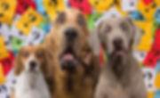 Overraskede hunde Hellerup Dog Walk søger ny hundelufter jobopslag hundehave hundebørnehave legesyge hunde København frederiksberg og nordsjælland og til Helsingør