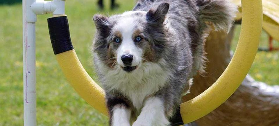 Agility. Dog jumping through hoop. Hund hopper genem ring. Hellerup Dog Walk. Hundetræning. Hundeluftning.