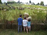 3 Young Kids Staring at Sheep