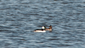 In Search of the Bufflehead (updated) ~ A Photographic Journey