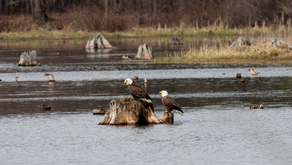 Bald Eagle Action at the Flooding