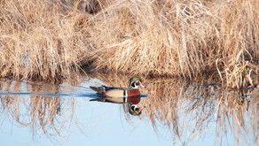 The Wood Ducks Have Returned