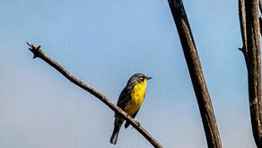 The Kirtland's Warbler