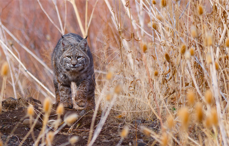 Northern California Bobcat