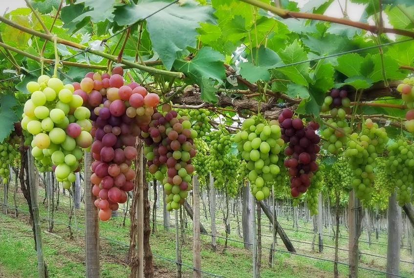 Nardello's grape vines