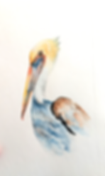 pelican_watercolor.png