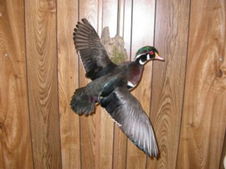 taxidermy_woodduck.jpg
