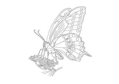Schwarzer Schwalbenschwanz | zum Download