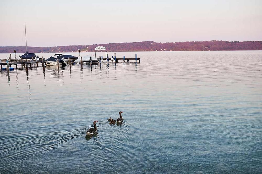 Starnberger See in Pöcking am Seeuferweg bei München - Enten im Wasser