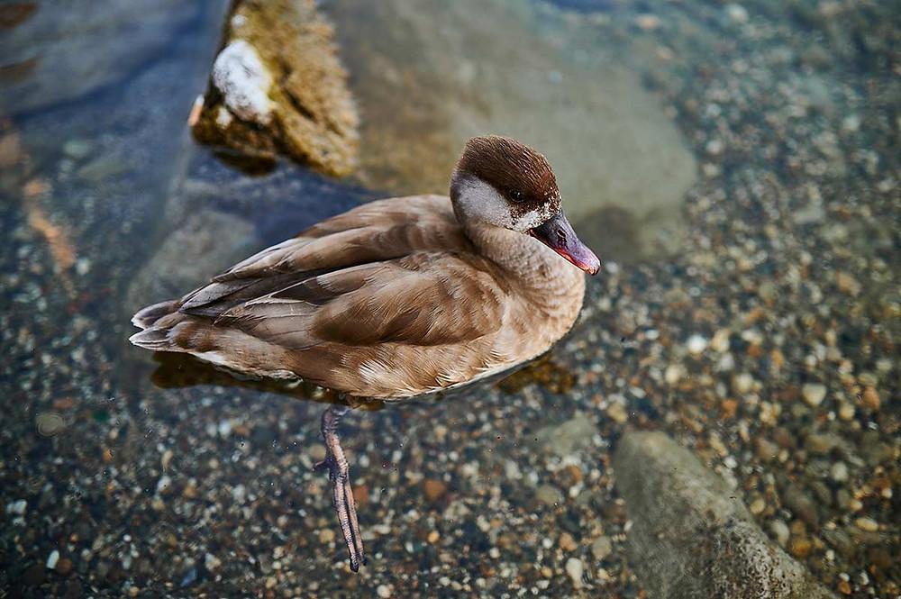Familienausflug nach Starnberg am Starnberger See Ente Wasservogel