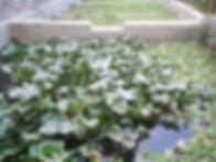 waste-water-treated-by-aquatic-plants.jpg