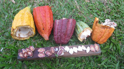 Enhancing Cocoa Quality