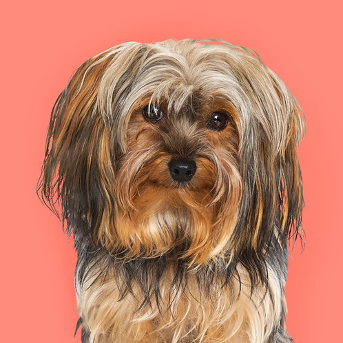 Yorkshire Terrier - Coming Soon