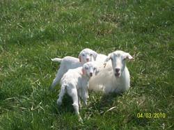 White Kiko Doe with twins