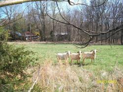 Goats Unlimited Kiko Bucks