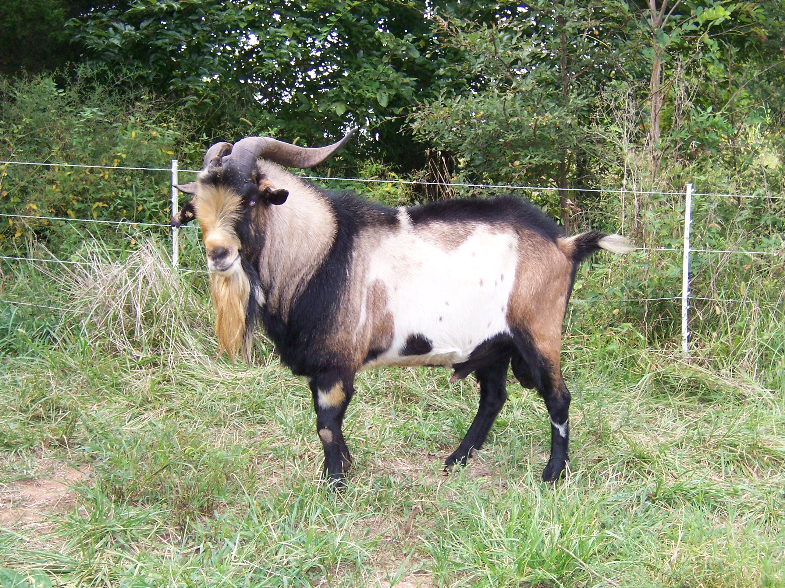 Goats Unlimited Kiko Buck