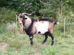 Goats Unlimited Kiko Buck
