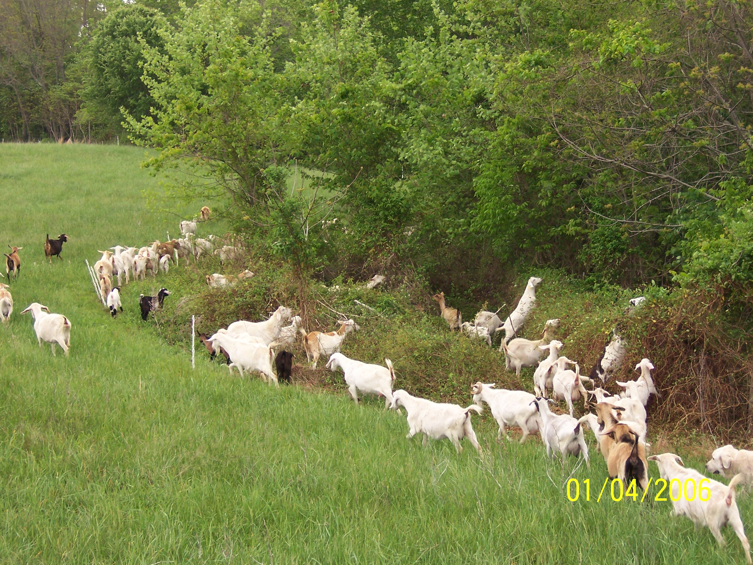 Kiko Goats browsing