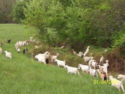 Kiko Goats browsing