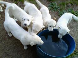 Akbash Puppies