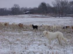 Kikos and Akbash livestock guardian