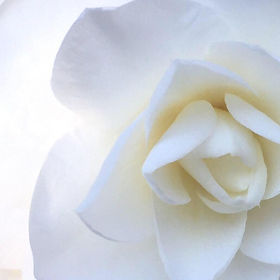 Lisa's white rose.jpg