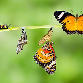 Isolated Male Leopard lacewing (Cethosia