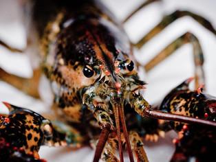 Lobsters Have Feelings.